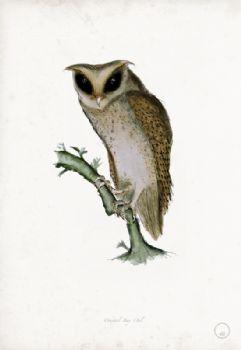 Oriental Bay Owl - artist signed print
